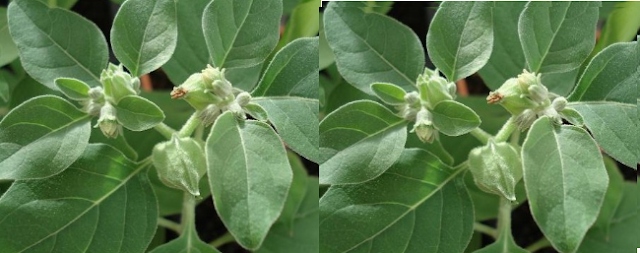 Ashwagandha Fights Cancerous Cells