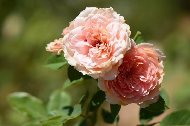 amy myers, photography, small sunny garden, desert garden, rose, crown princess margareta