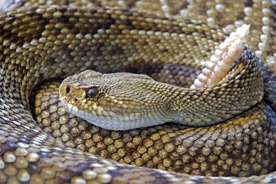 Rattle Snake poisonus snakes