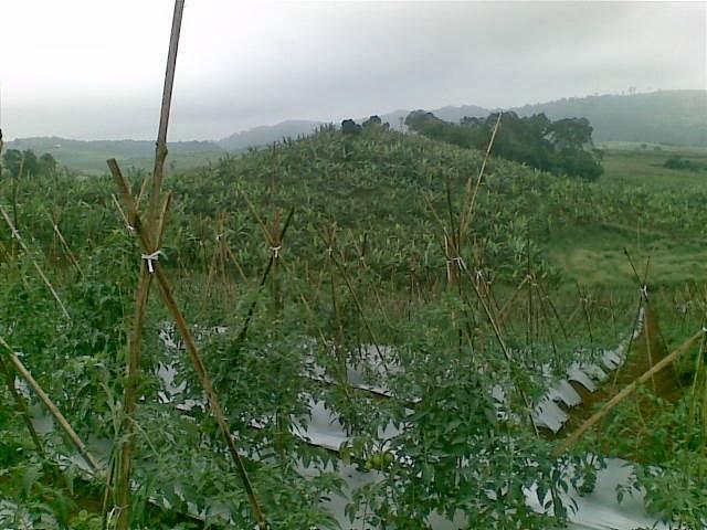 Foto(5205) Jual Tanah Milik | Kebun 23 Ha, Lokasi Puncak jual tanah di puncak