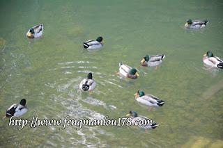 杉林溪绿头鸭