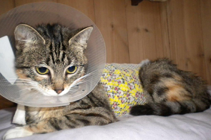 tabby cat with cone collar
