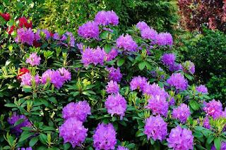 Rhododendron pflanzen und Pflege