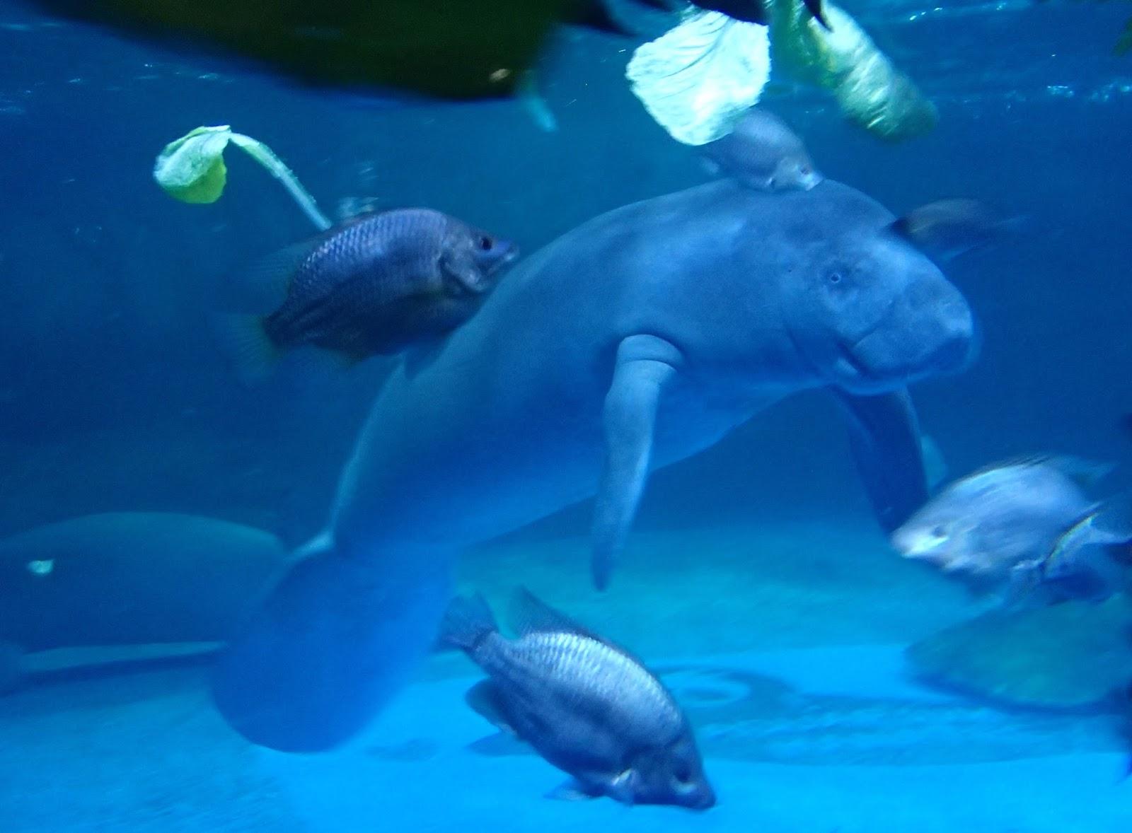 News from shirley japan korea may 28 2016 Manatee aquarium
