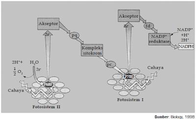 Mekanisme Reaksi Terang dan Reaksi Gelap (Fiksasi CO2) Dalam Proses Fotosintesis Pada Tumbuhan