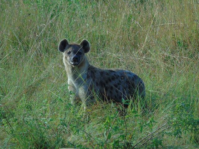 hyena masai mara kenya africa safari