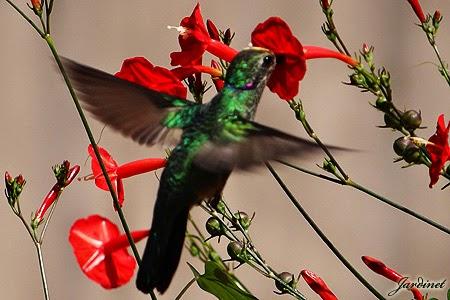 Flor para Beija-flor