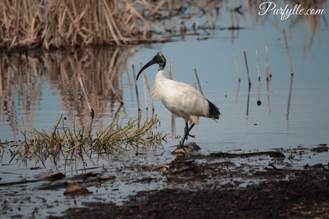 Australian White Ibis has striking black feet and bill