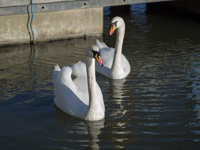 Photo of the pair of swans in search of food