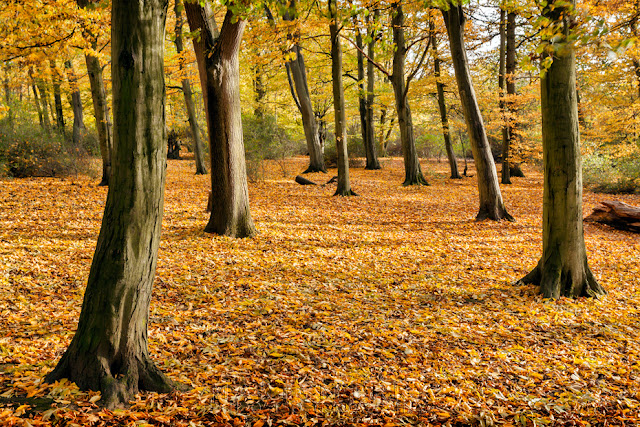 Woodland carpet of colour in autumn at Hinchingbrooke Country Park in Cambridgeshire