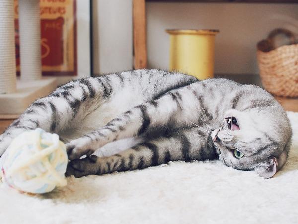 寝っ転がって毛糸玉にじゃれつくサバトラ猫