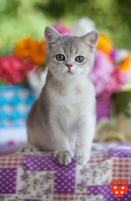 A British Shorthair kitten sits on a tablecloth in front of flowers