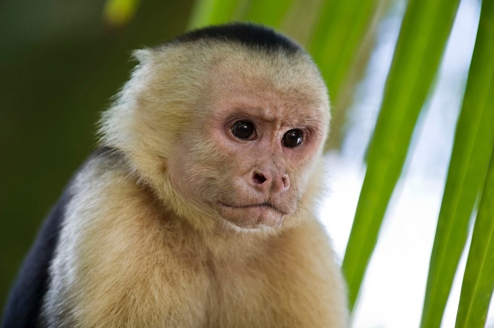 smallpetsathome exotic pets capuchin monkey