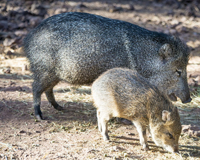 Synapsida: The Pig Family: Peccaries Are Not Pigs