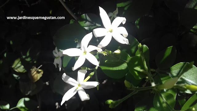 Jazmín Estrellado (Trachelspermum jasminoides)