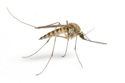 Tigrasti komarac prenosilac dirofilarije - Panvet