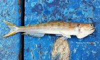 Bluntnose Lizardfish