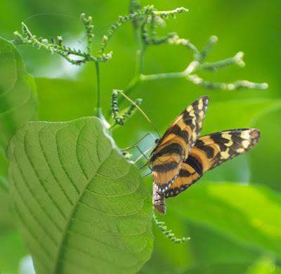 Mimic Tigerwing (Melinaea lilis imitata)