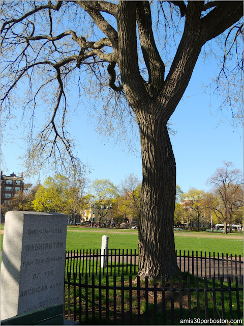 Árbol Histórico del Cambridge Common