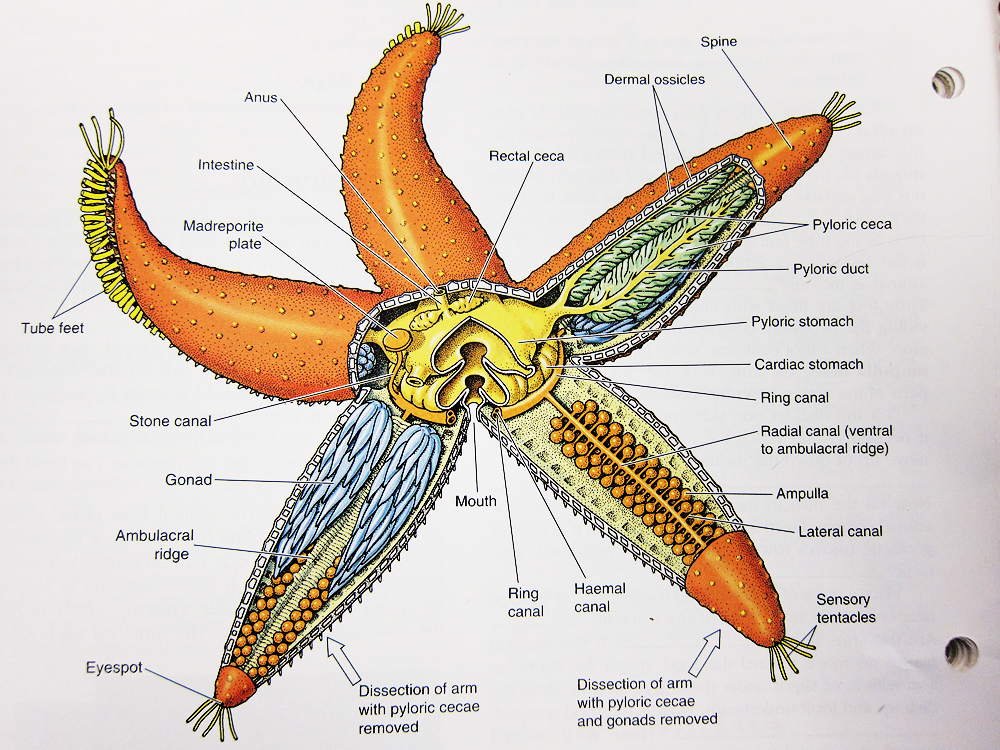 fig : diagram of starfish