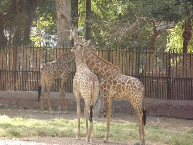 زرافة في حديقة الحيوان بالجيزة Giza Zoo