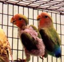 Inilah Penyebab Utama Burung Mencabuti Bulunya Sendiri