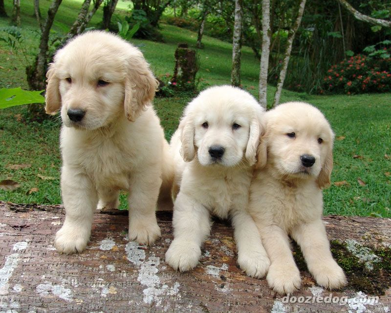 Cute Golden Retriever Puppies Pictures ~ BLOG OF CUTE ...