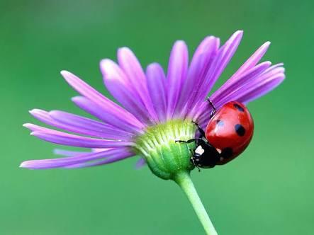 As joaninhas são predadores no mundo dos insetos e alimentam-se de afídios, moscas da fruta, piolhos da folha e outros tipos de insetos, a maioria deles nocivos para as plantas. Uma vez que a maioria das suas presas causa estragos às colheitas e plantações, as joaninhas são consideradas benéficas pelos agricultores. Apesar da grande utilidade, estes insetos sofrem ameaça dos agrotóxicos utilizados pelos agricultores em suas plantações, embora a maioria das espécies não seja considerada como ameaçadas.