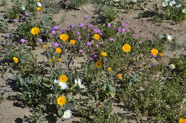 desert sunflower, dune evening primrose, desert sand verbena