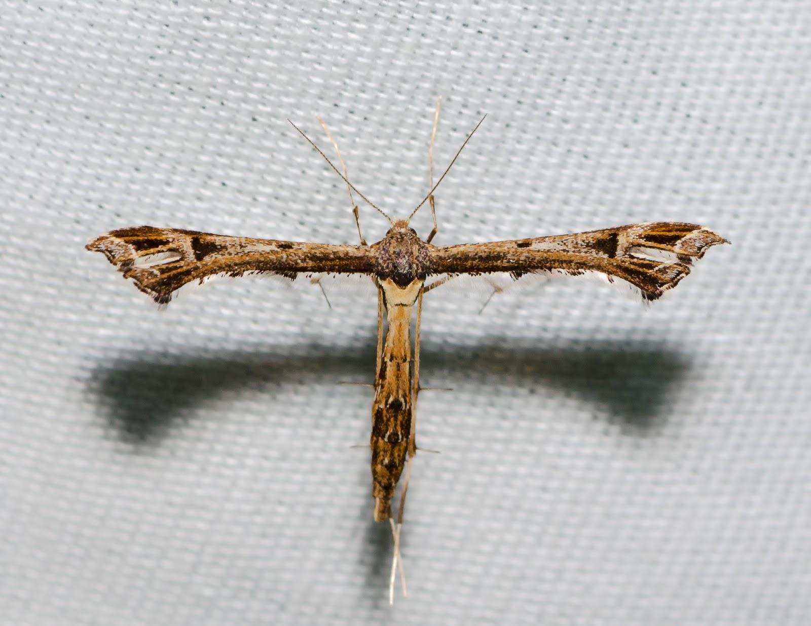 Plume Moth Ohio