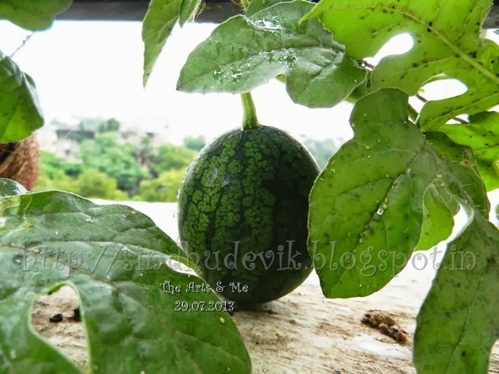 Baby Watermelon Fruit and creeper affected by insects.