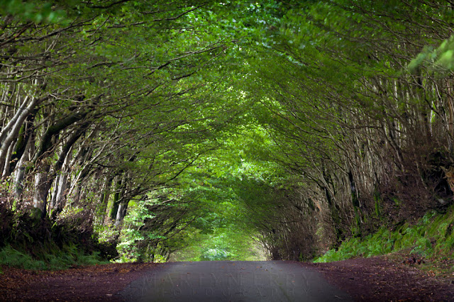 Tunnel of trees over a small lane in Exmoor National Park