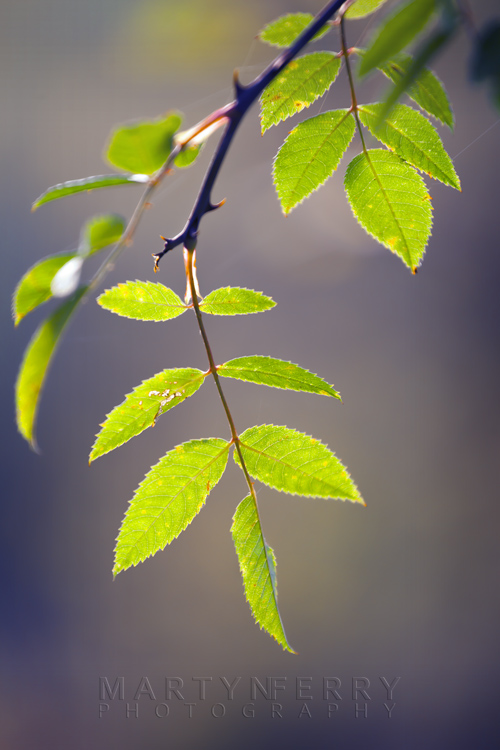 Delicate green leaves are backlit by the afternoon sun
