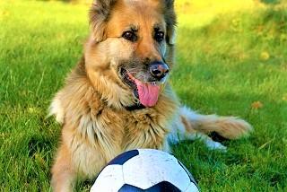 犬(ジャーマンシェパード)写真