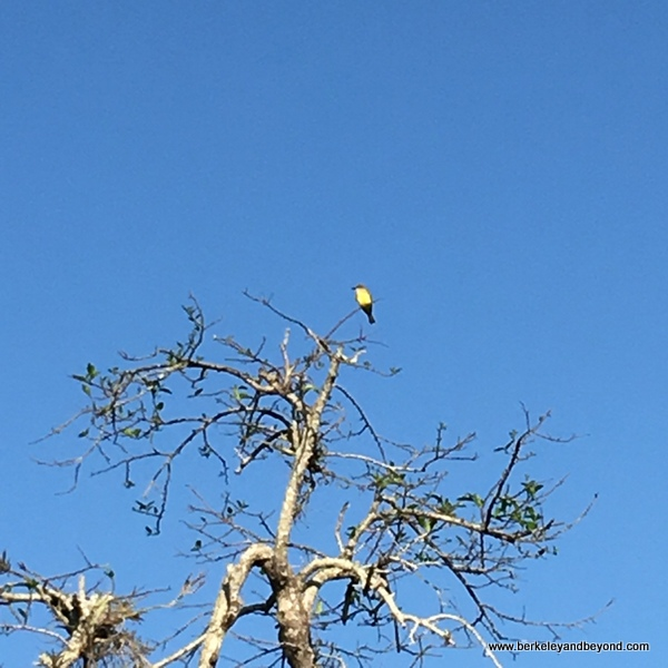 yellow bird spotted at La Tovara Nature Reserve in San Blas, Mexico