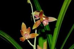 Anggrek Hartinah (paphiopedilum chamberlainianum)
