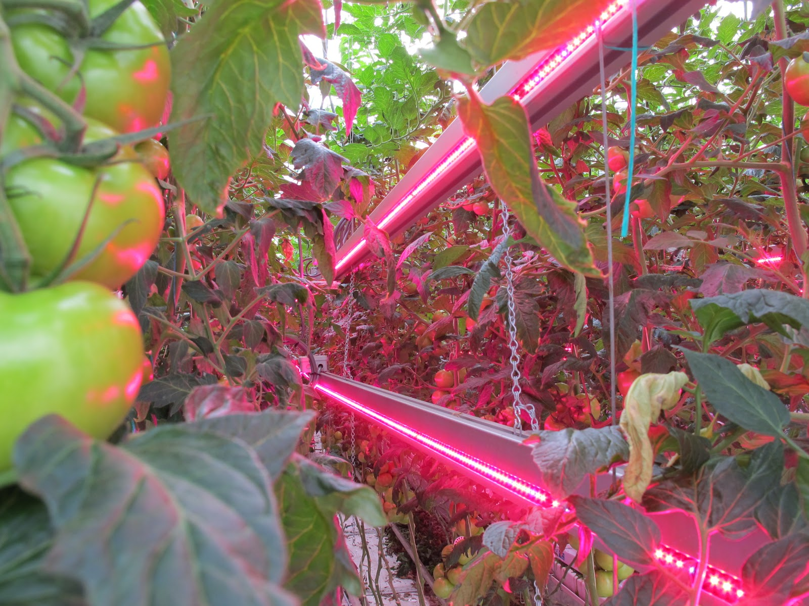 LED Interlighting Modules used in Greenhouse Tomatoes & LED Grow Lights u2013 Hort Americas