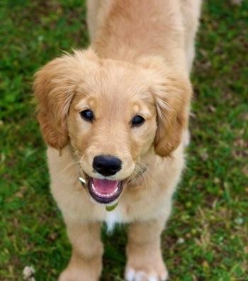 Golden Retriever Dog: Miniature Golden Retriever