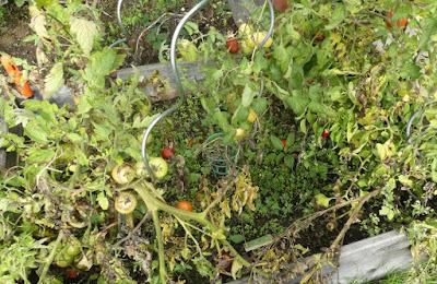 Hochbeet mit Tomaten