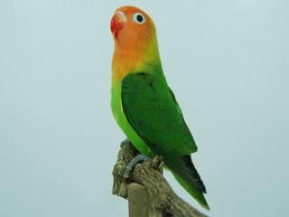 Harga Lovebird nyasa