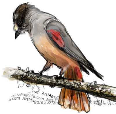 Siberian Jay sketch painting. Bird art drawing by illustrator Artmagenta