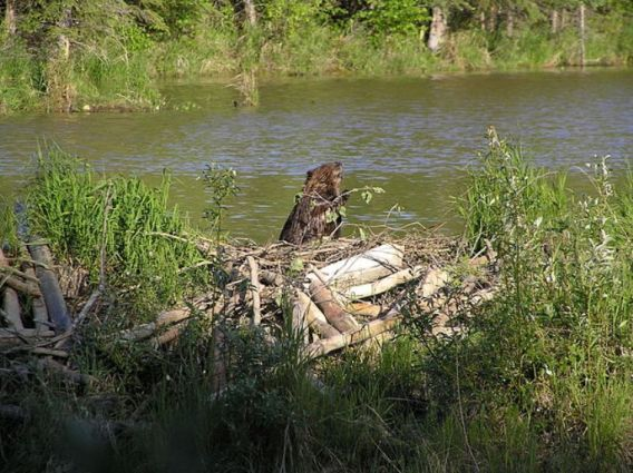 A beaver in its pond