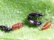 Ordo Thysanoptera