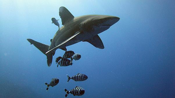 Μέτρα προστασίας για 18 είδη καρχαριών (βίντεο)