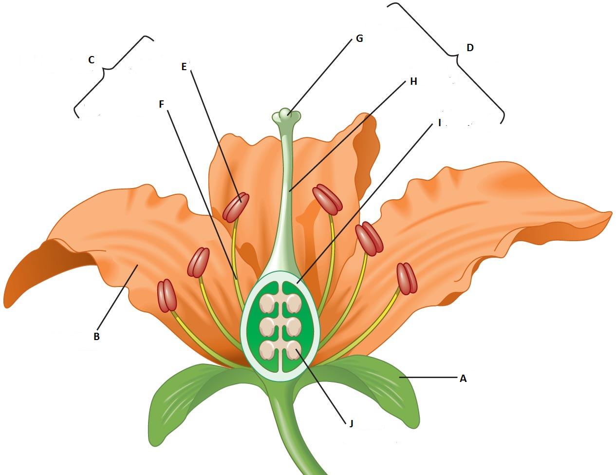 diagram quiz on flower parts biology multiple choice quizzes png 1265x975 unlabeled pollination diagram [ 1265 x 975 Pixel ]