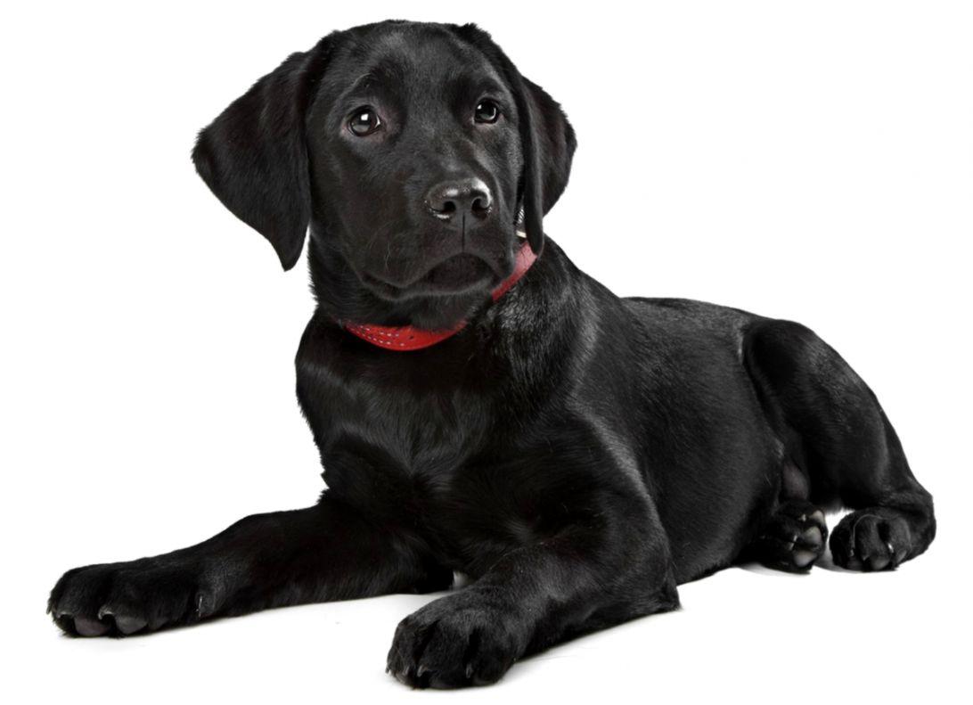 Black Dog Image | Net Wallpapers
