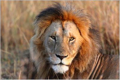 León macho