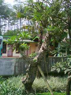 Jual pohon kamboja batang besar