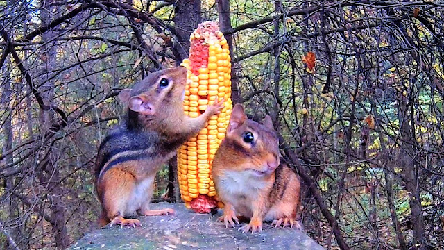 Chipmunks Devour Corn Cob