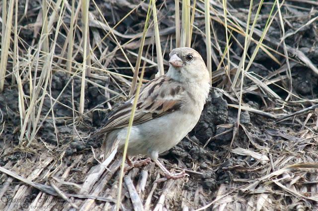 House Sparrow female, BPS Sep-18